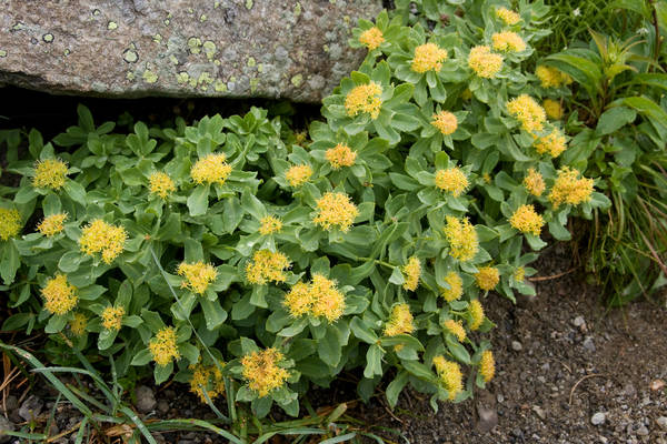 Rhodiola griffonia : promo - engagement qualité - comparateur