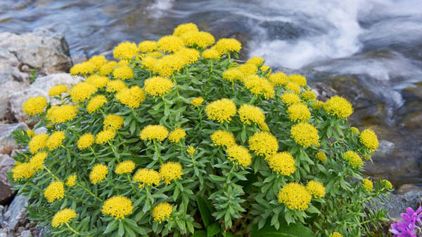 Rhodiola dosage : coupon - actuel - utile